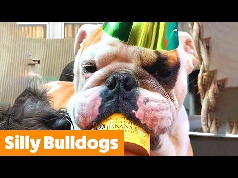Cute Bulldog Bloopers & Reactions   Funny Pet Videos