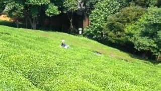 Green Tea Plantation - Boseong, Korea