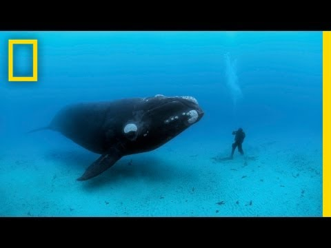 Diving with Whales | Nat Geo Live