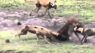 Опасные животные. Дикие животные. Африканские дикие собаки vs гиена