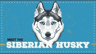 Siberian Husky  | CKC Breed Facts & Profile