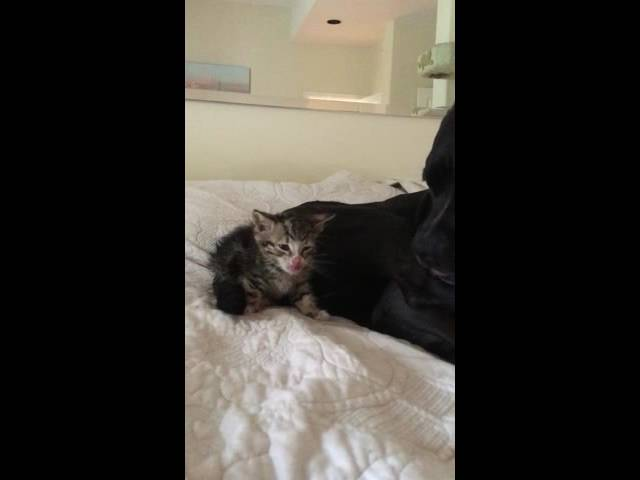 Rescue Kitten Getting a Bath from Rescue Dog Mama