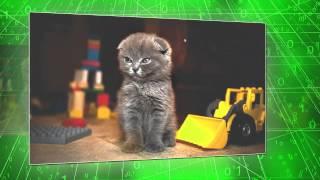 Шотландский вислоухий котенок - радость для детей