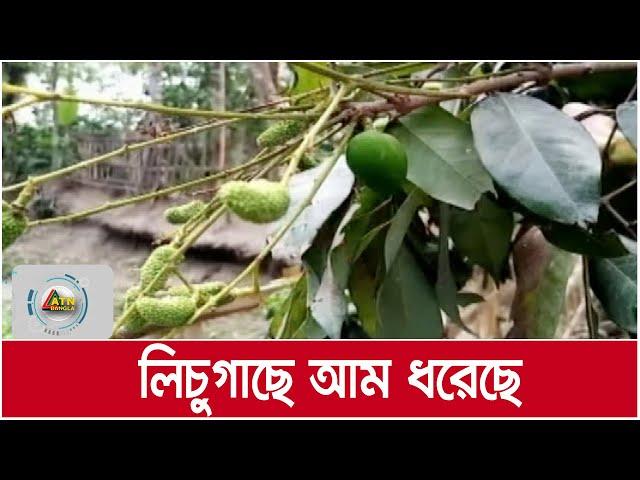 লিচু গাছে আম : চাঞ্চল্য সৃষ্টি হয়েছে ঠাকুরগাঁওয়ে | ATN Bangla News