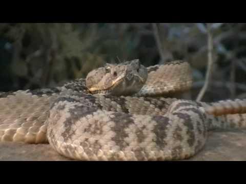 Largest Snakes - Eastern Diamondback Rattlesnake P2
