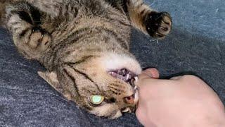 【閲覧注意】飼い主の指を食いちぎる凶暴猫...