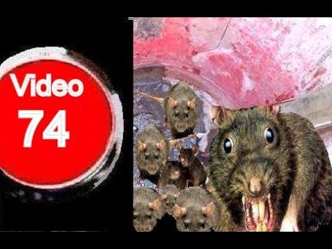 Jaula trampa para ratas funnycat tv - Mejor veneno para ratones ...