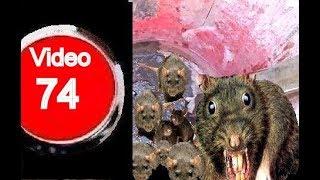 C mo elegir el mejor cebo para roedores - Trampas para ratones vivos ...