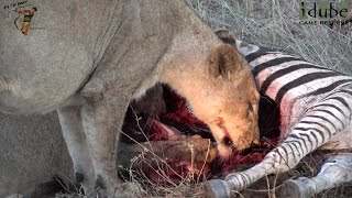 LIONS: Following The Pride 61: Zebra Meal