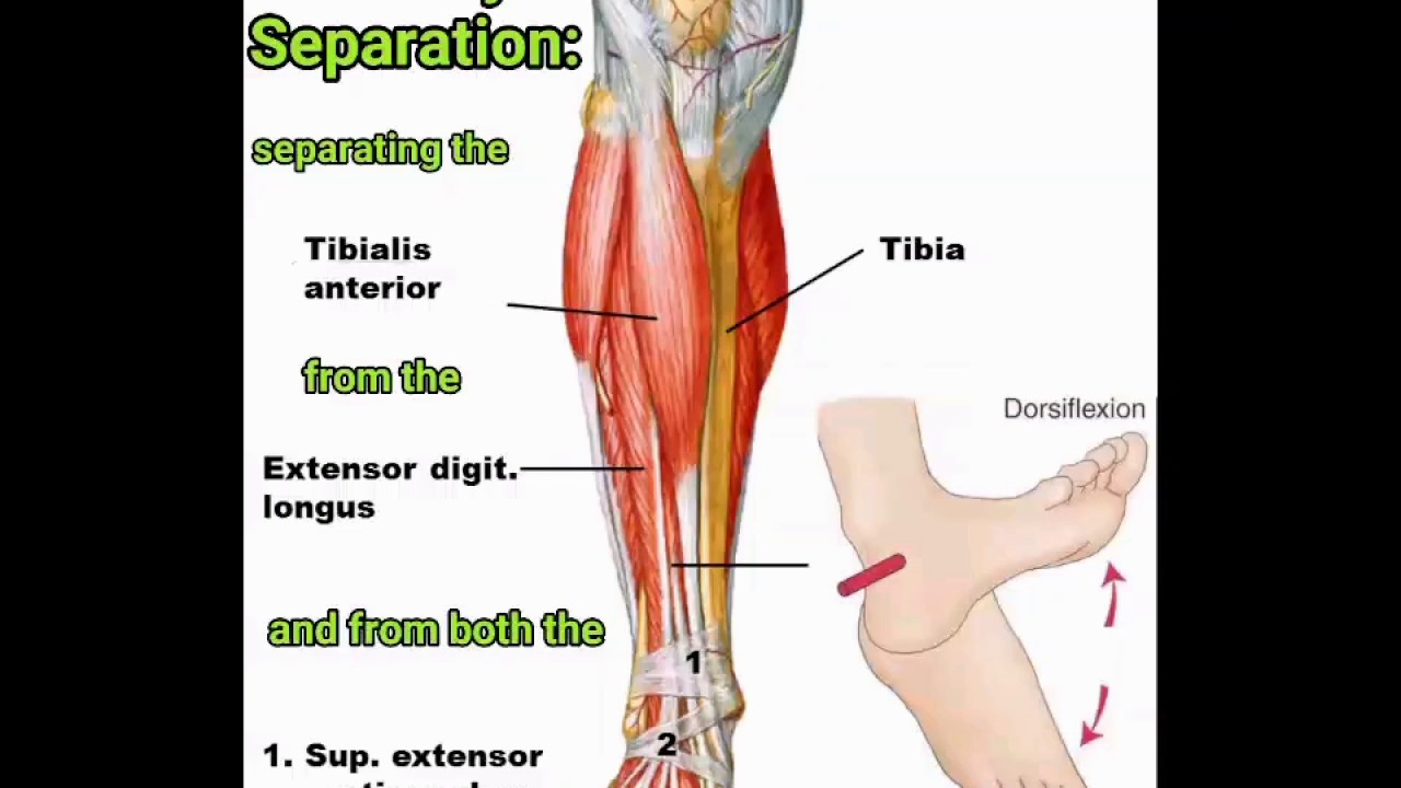 Fine Anterior Tibialis Ensign - Human Anatomy Images ...