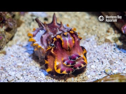 Flamboyant Cuttlefish Hunting Shrimpy Prey!