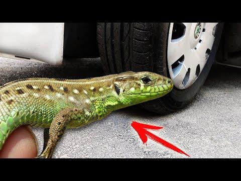 Experiment: Car VS Animals
