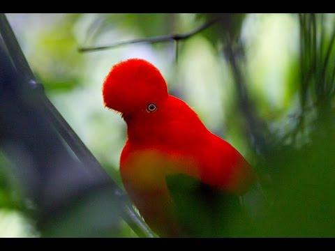 National Park of Manu - Peruvian Amazon