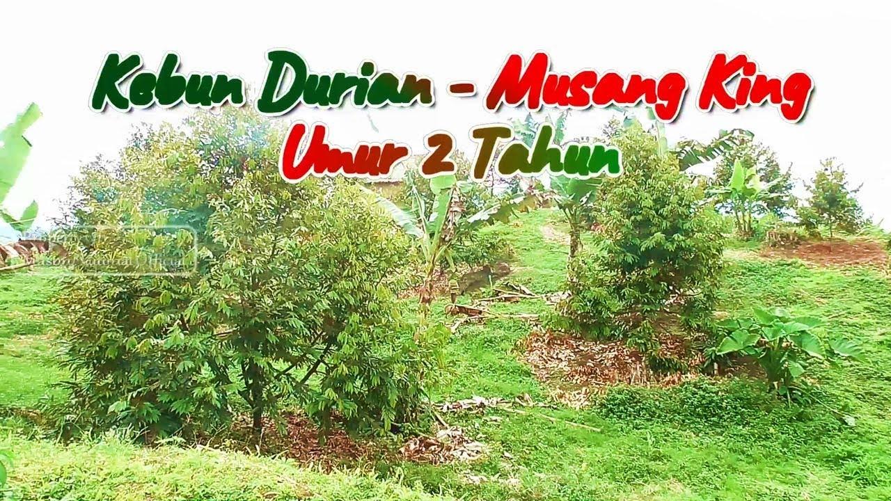 Video Kebun Durian