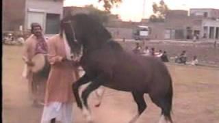 Nisar Stud Farm, Amer Nisar Khan, Training Horses, Gujranwala, Horse Dancing in Pakistan,