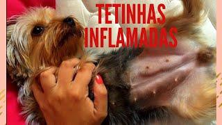 Cadela com tetinhas duras roxas e inflamadas pós cio - Mastite- Dica Caseira- Chá de Salsinha