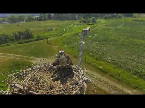 Osprey Nest - Charlo Montana Cam 07-11-2017 09:57:36 - 10:57:36