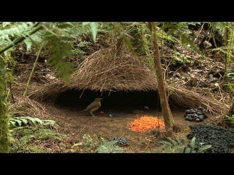 Vogelkop Bowerbird (Amblyornis inornata), Hüttengärtner, Burung Namdur, Indonesia