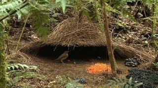 Vogelkop Bowerbird, Hüttengärtner