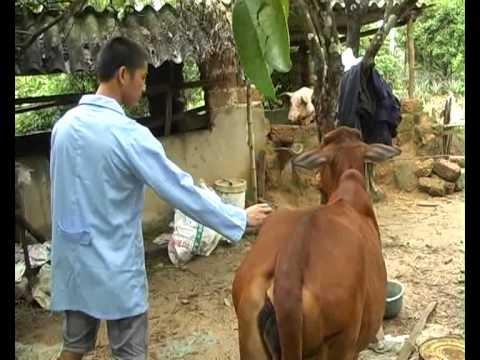 Huyện Thạch Thất Tổ Chức Tiêm Phòng Vac Xin cho đàn Gia Súc Ở Toàn Huyện