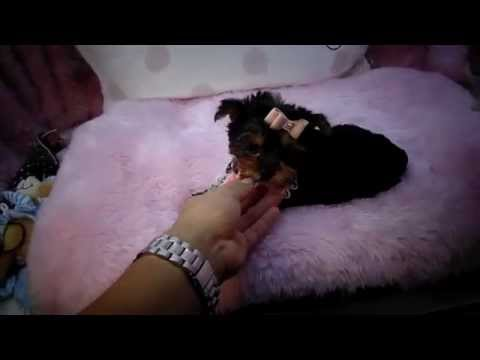 Yorkie Puppies for Sale at Teacup Puppies Store – Best Cute Puppy Award 2016 WE SHIP