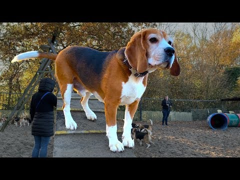 100 Funny Beagles Playing At The Dog Park Compilation : BELLO Playground RECORD!