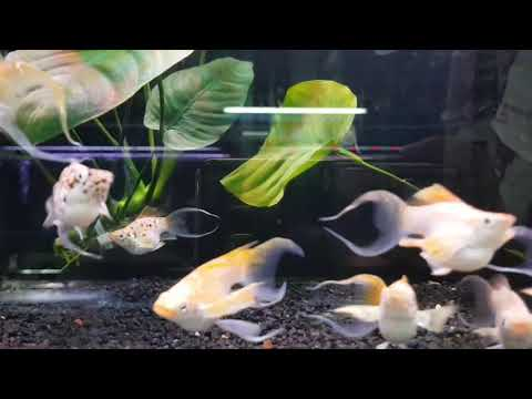 24k Lyre Tail Balloon Mollies | Double Sword Molly | Planted Aquarium