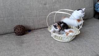 Котята породы Курильский Бобтейл. Питомник Spragovski.
