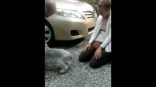 Cachorro desmaia de emoção ao ver dona