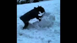 Schnauzer Destroys Snowball.mov