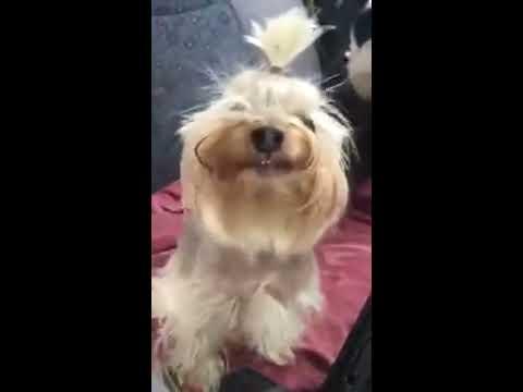 Yorkie  Smile