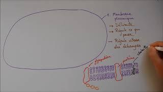Structure cellulaire 1 - Membrane, noyau, appareil de Golgi