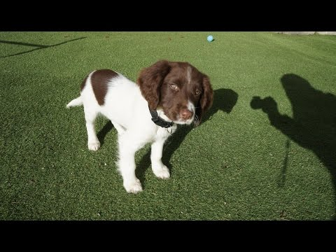 Duke 11 week old Springer Spaniel Training - Sit,Stay,Lie down,Fetch/Come