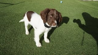 Duke 11 week old Springer Spaniel Training  Sit,Stay,Lie down,Fetch/Come