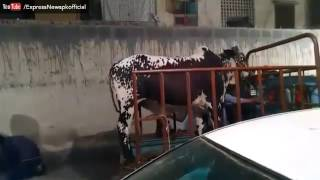 SHOCKING AND FUNNY Video of Cow on Eid - Express News