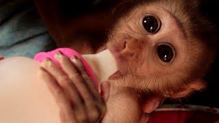 Baby monkey good habit milk, mom take care obediently bela drink milk unbelievable -