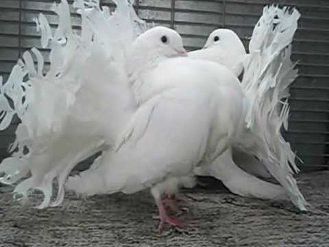 Indian Fantail Pigeons For Sale Youtube
