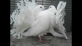Indian Fantail Pigeons for sale