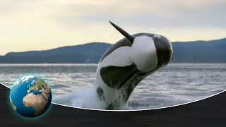 Killer whales hunting in Olympic National Park