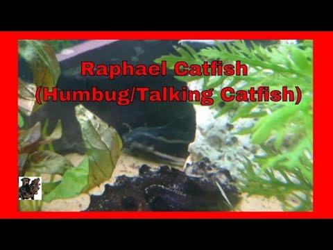 Humbug Catfish (Raphaels Catfish)