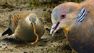 Горлица большая в поисках червей - жизнь на Курильских островах   Film Studio Aves