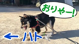 【豆柴】新居から初お散歩!ハトを蹴散らす柴犬!w Shiba Inu dogs going for a walk for the first time from a new house