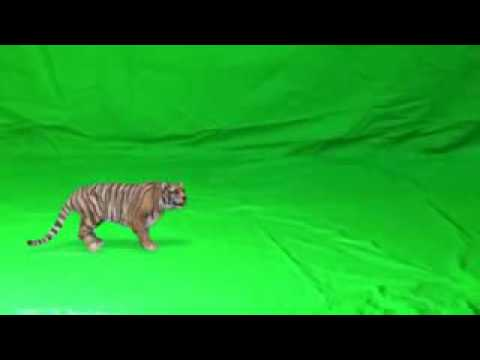 Tiger video PNG