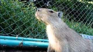 伊豆アニマルキングダムの仔カピちゃん。 柵の向こう側にある草が食べた...
