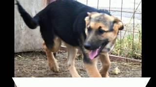 Возьмите щенка метиса овчарки из приюта в Москве