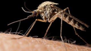 Virus del Zika: Es un mosquito modificado genéticamente el causante de la epidemia