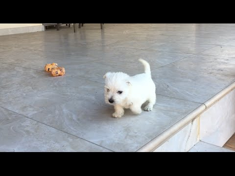 Westie puppy goes down stairs for the first time, goes faster on 2nd attempt.