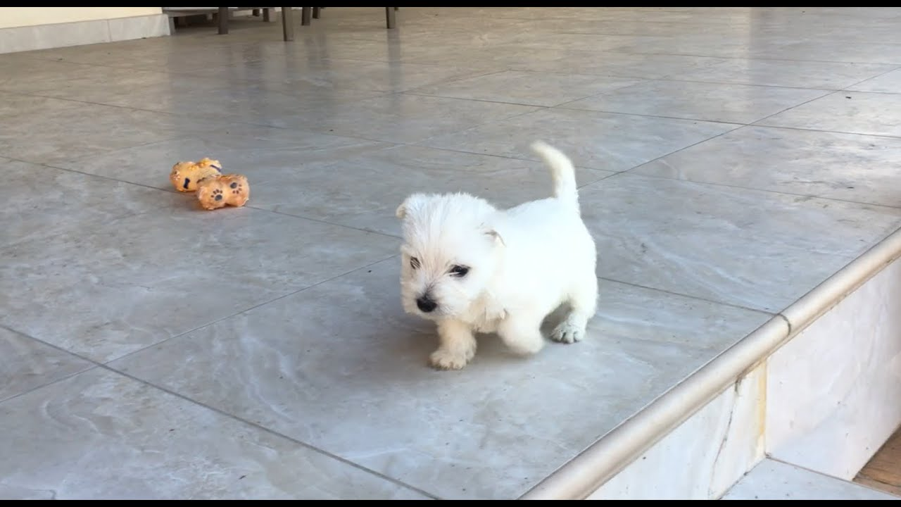 westie puppy goes down stairs for the first time goes. Black Bedroom Furniture Sets. Home Design Ideas