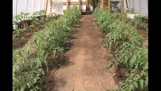 Pruning and Stringing Tomatoes - Tips & What I Do