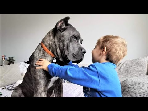 CANE CORSO BABYSITTING CHILDREN | Italian Mastiff Family Protector